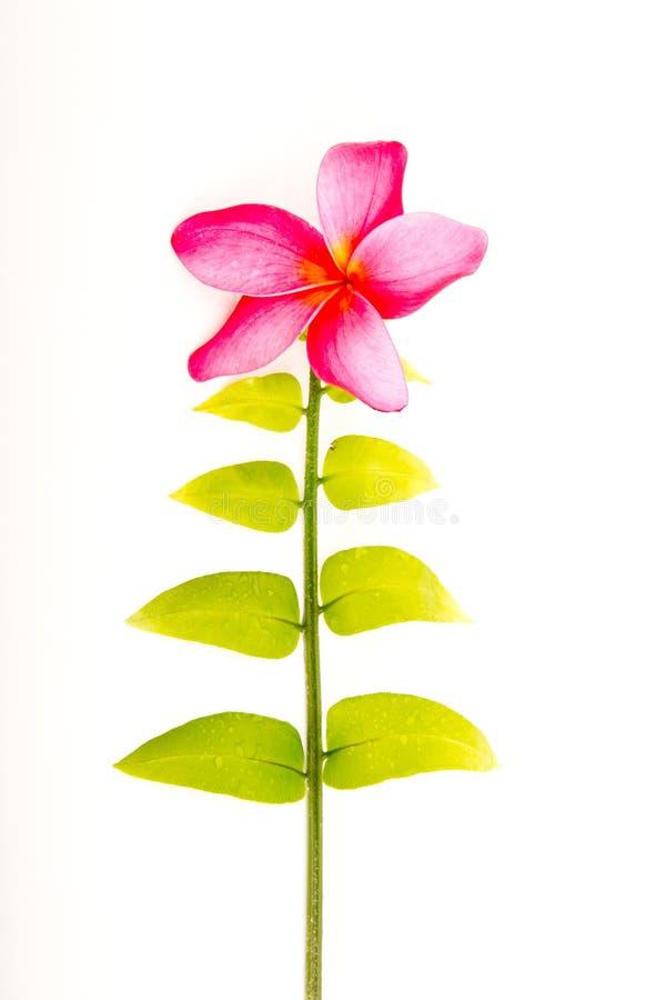 有桃红色赤素馨花花的唯一年轻绿色蕨叶子 免版税库存图片