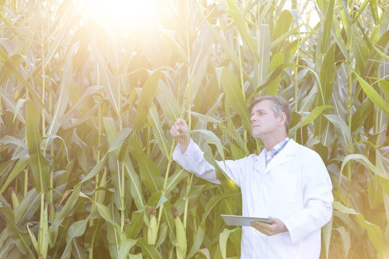 有检查庄稼的数字片剂的成熟科学家在农场 库存照片