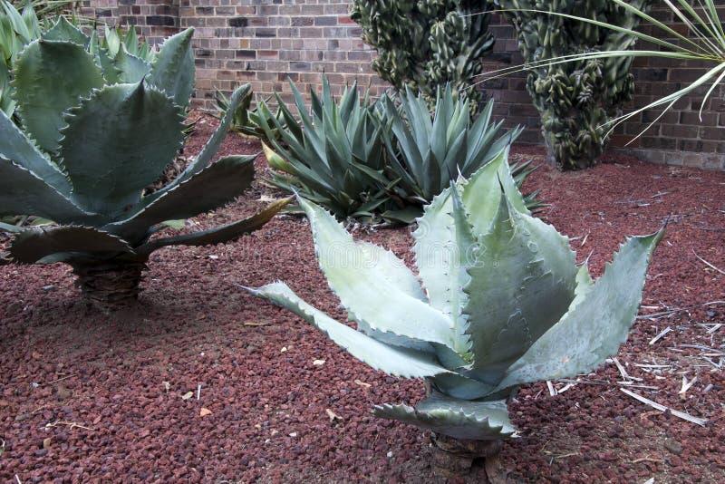 有棘手的边缘的龙舌兰植物在一个多汁庭院里 免版税图库摄影