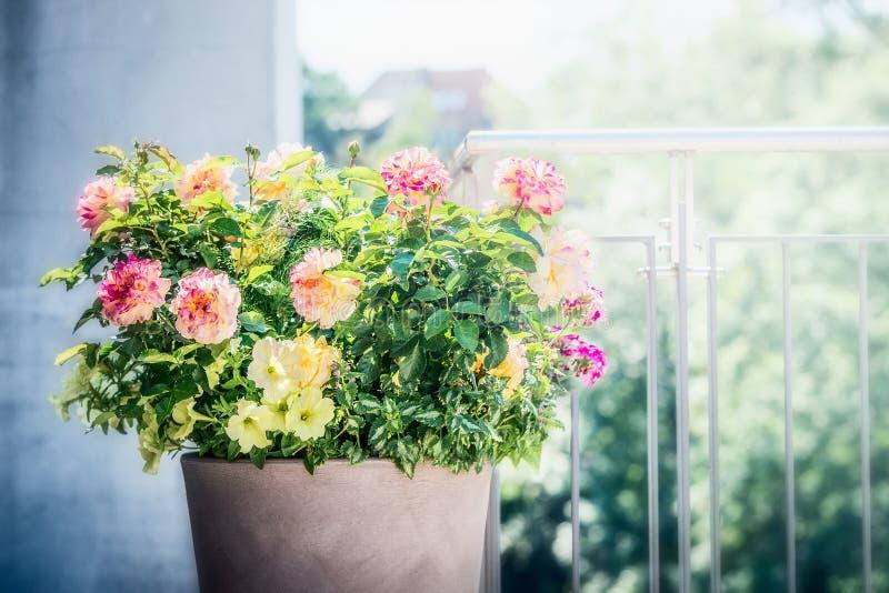 有植物布置的俏丽的露台罐:玫瑰、喇叭花和马鞭草属植物花在阳台或大阳台 免版税库存照片