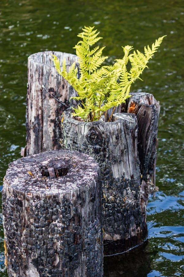 有植物的船坞打桩 免版税库存图片