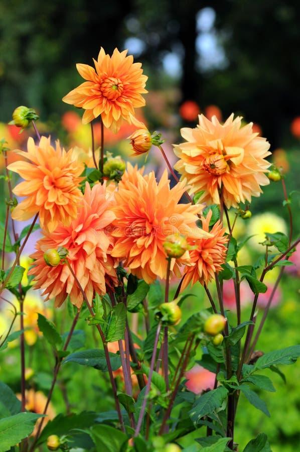 有橙色大丽花的花圃 免版税图库摄影