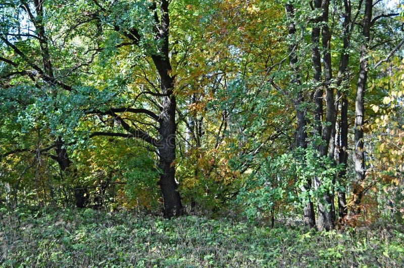 有橡木的秋天森林 库存图片