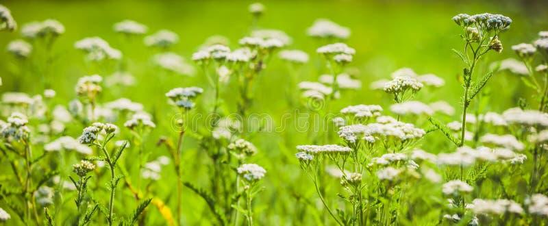有欧蓍草横幅白花的夏天草甸  免版税库存图片