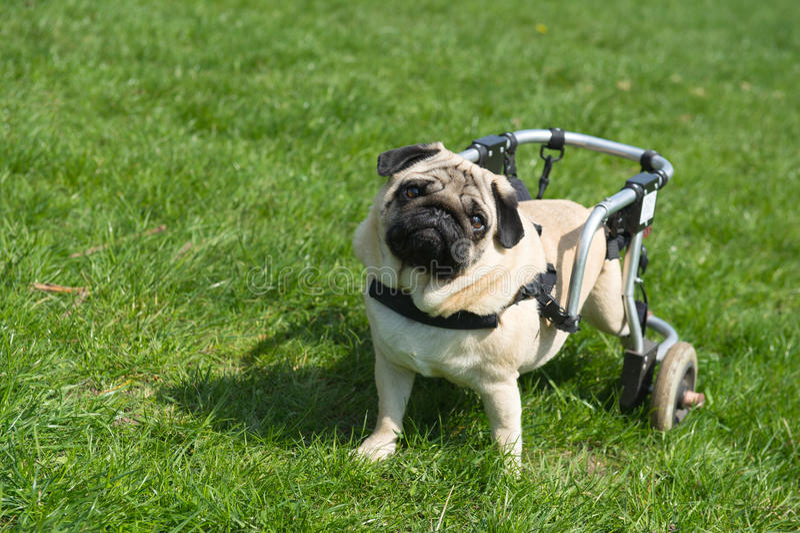 有残障的狗 库存图片