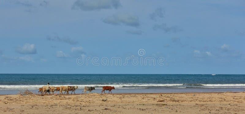 有母牛牧群的非洲牧羊人在海滩的 图库摄影