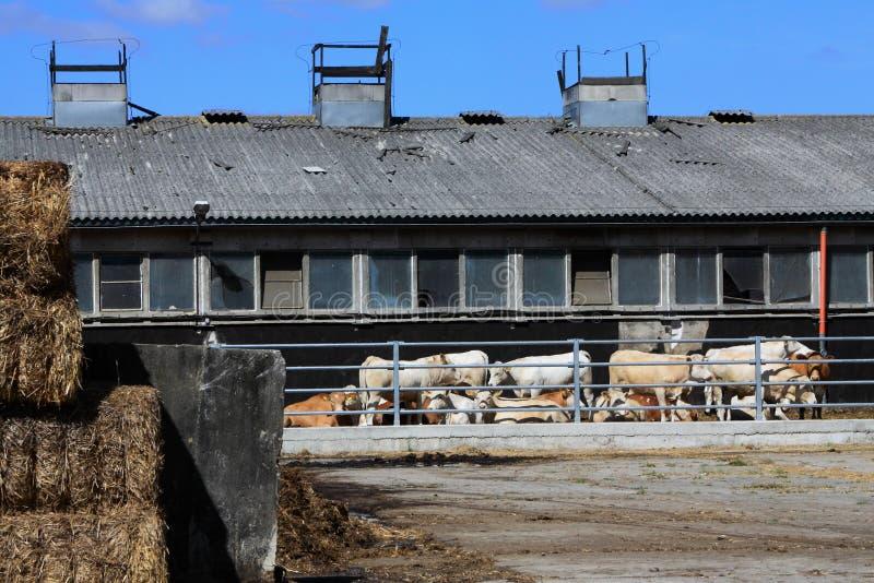 有母牛的一个农场 免版税库存照片