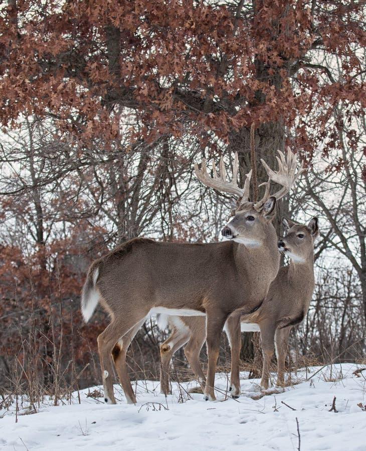 有母鹿的白尾鹿大型装配架 免版税库存照片