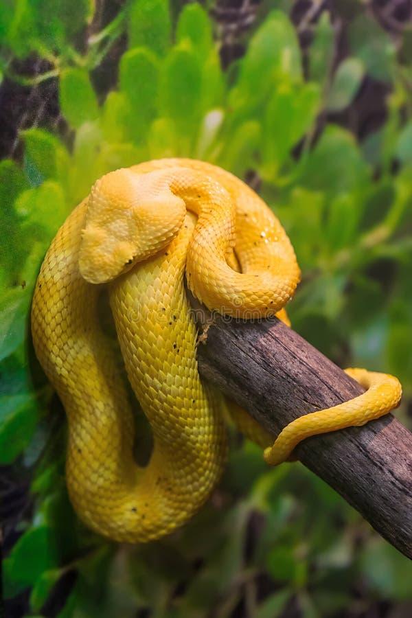 有毒布什蛇蝎蛇 库存照片