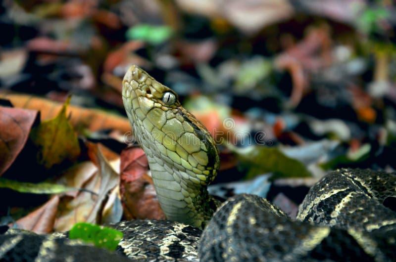 有毒fer de长矛蛇蝎 库存图片