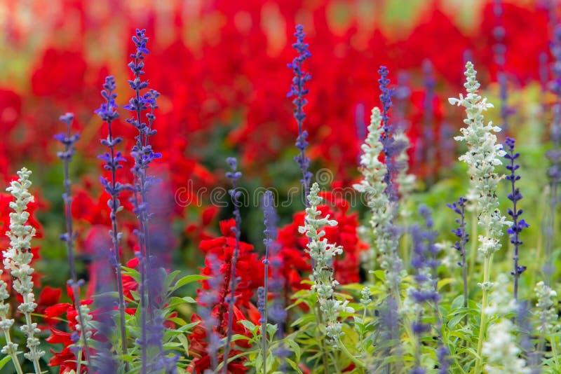 有气味的紫色淡紫色花田和红色花背景美好的细节在庭院里, 免版税库存照片