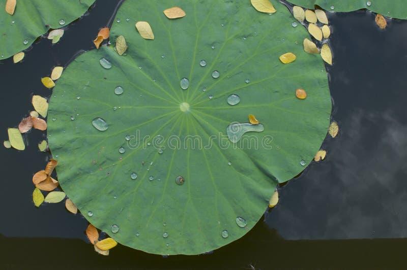 有水下落的莲花叶子 免版税库存照片