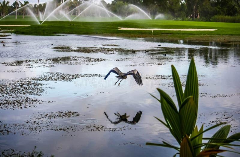 有水厂的一个湖和飞行苍鹭和绿色高尔夫球领域在多米尼加共和国 免版税库存图片