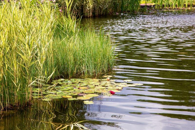 有水和水生植物的人为池塘 免版税图库摄影