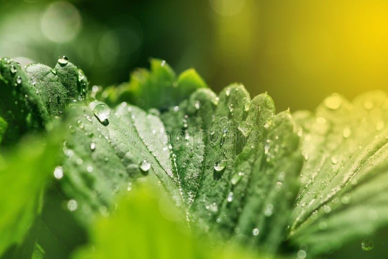 有水或露水下落的新鲜的绿色叶子在阳光 春天自然美好的背景 草莓叶子 有选择性 图库摄影