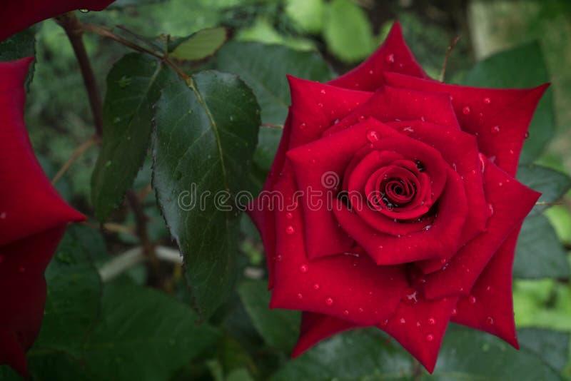 有水滴的典雅的红色玫瑰色芽在瓣在绿叶被浸没 水多的情人节贺卡,婚礼 免版税库存照片