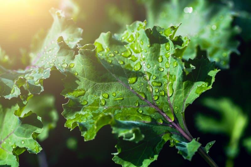 有水滴的绿色叶子在春天早晨阳光 免版税库存照片