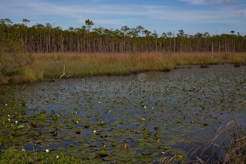 有水生waterlily植物池塘的南路易斯安那沼泽沼泽地  库存照片