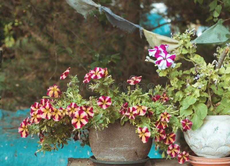 有洋红色,紫色和白色喇叭花的罐 库存照片