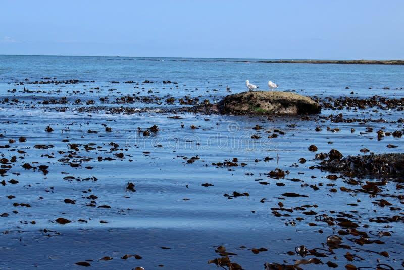 有浮动海草和两只海鸥的深蓝色海在Staithes的一个岩石 库存图片