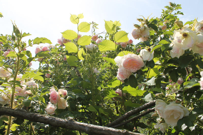 有淡粉红的玫瑰和榛树的狂放的英国庭院 老庭院上升了 免版税图库摄影