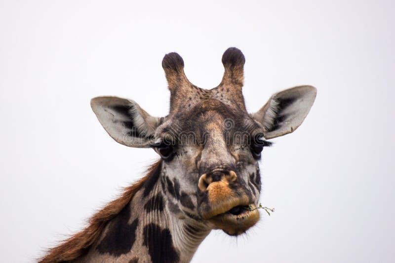 有滑稽的面孔的长颈鹿头 库存图片