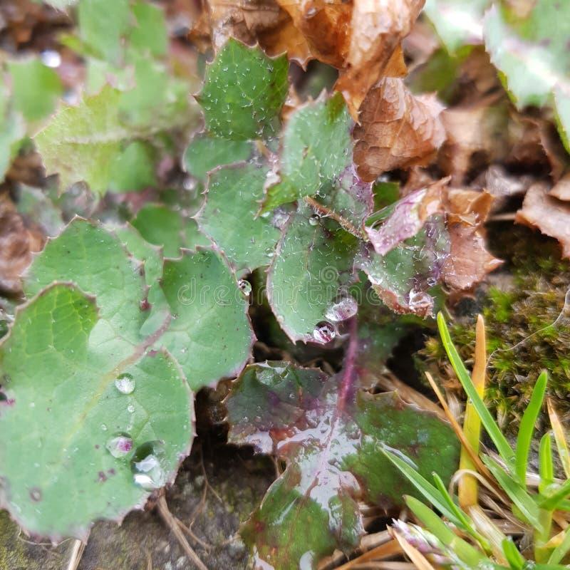 有滴水的叶子 免版税图库摄影