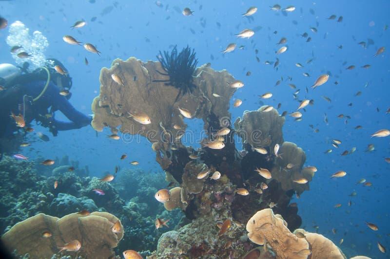有潜水者和很多鱼的珊瑚庭院,王侯Ampat,西部巴布亚,印度尼西亚 免版税库存图片