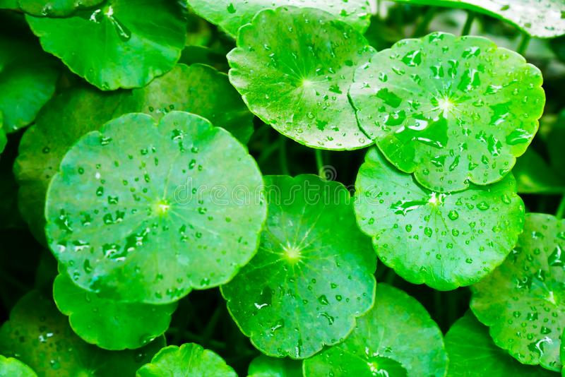 有潮湿和绿色的Beautyful Centella asiatica叶子在自然花卉蕨背景中在热带森林里 免版税库存照片