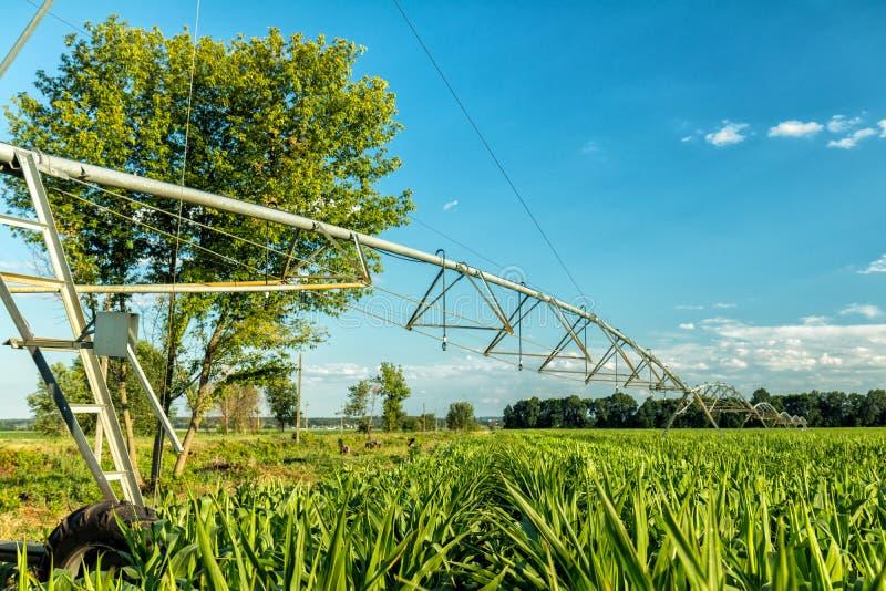 有灌溉系统的绿色玉米田 晴朗日的夏天 Concep 库存照片