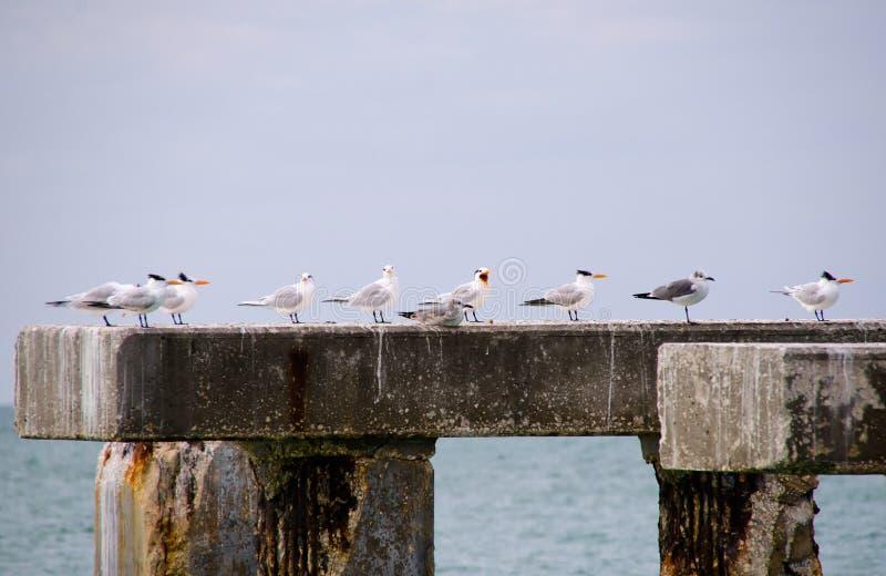 有燕鸥和鸥的老码头打桩,在Boca Gra 免版税库存照片