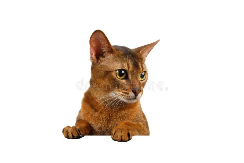 有爪子的特写镜头埃塞俄比亚猫服务台和看正确 图库摄影