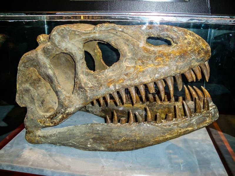 有牙的恐龙头骨 库存照片