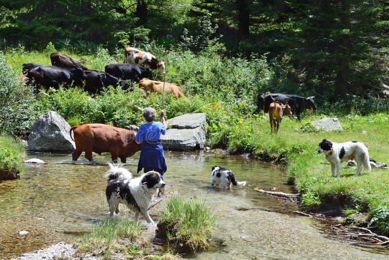 有牛的保加利亚乡下妇女在牧场地 库存照片