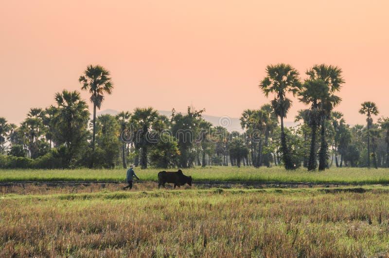 有犁在米领域凹线的母牛的农夫在桄榔种植园 免版税库存照片