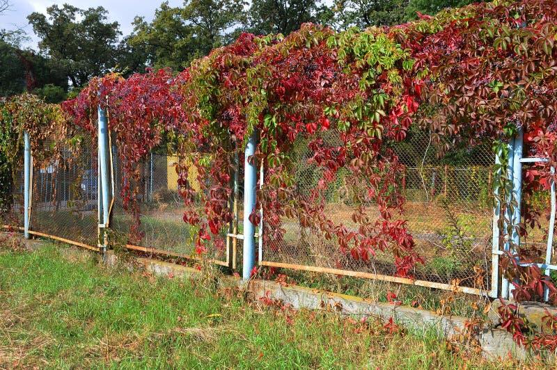 有狂放的葡萄自然秋天背景五颜六色的叶子的老篱芭  免版税库存照片