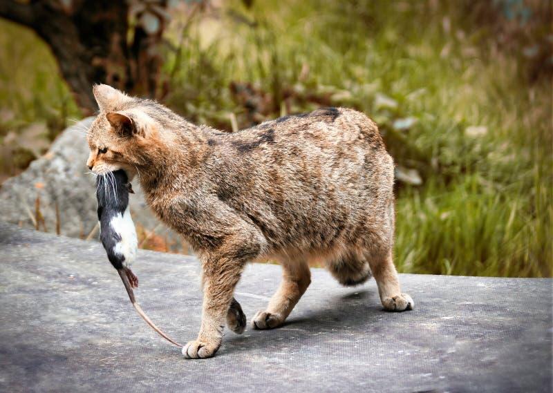 有猎物的野猫,嘴里的老鼠 库存图片