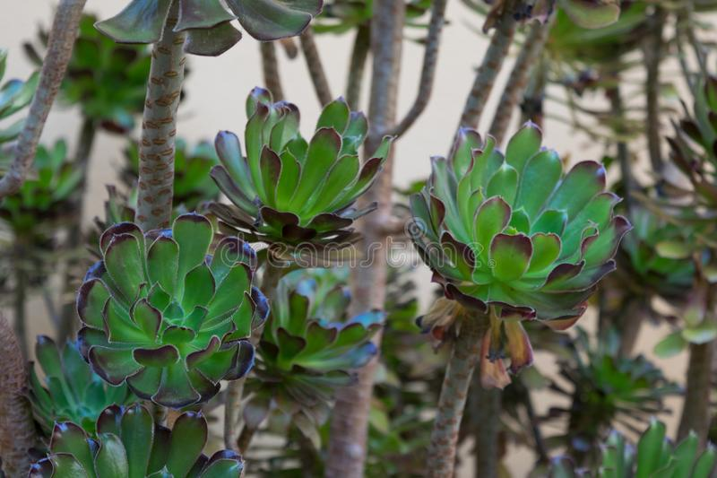 有玫瑰华饰叶子的热带植物 库存图片