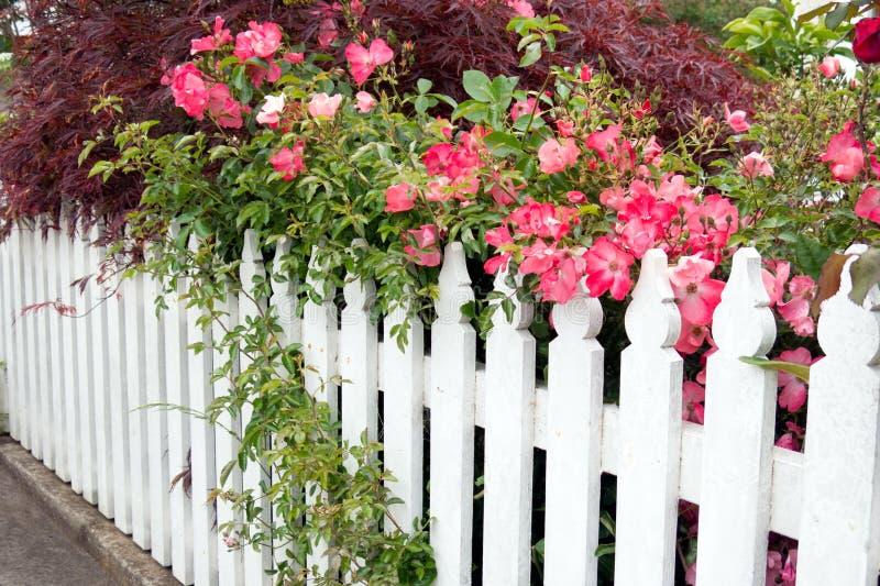 有玫瑰的尖桩篱栅 库存照片