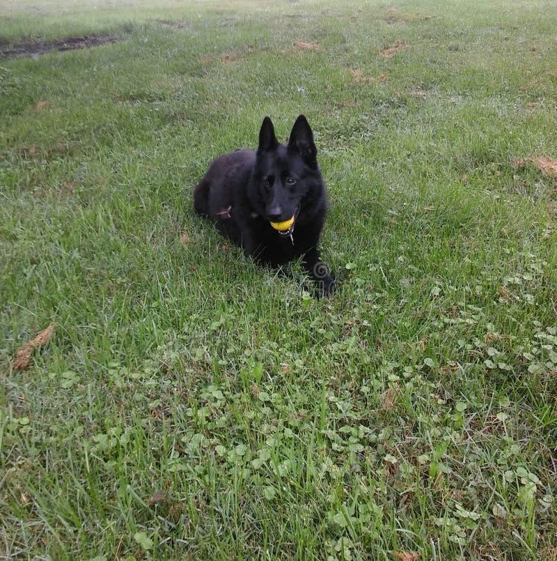 有球的黑人德国牧羊犬 库存图片