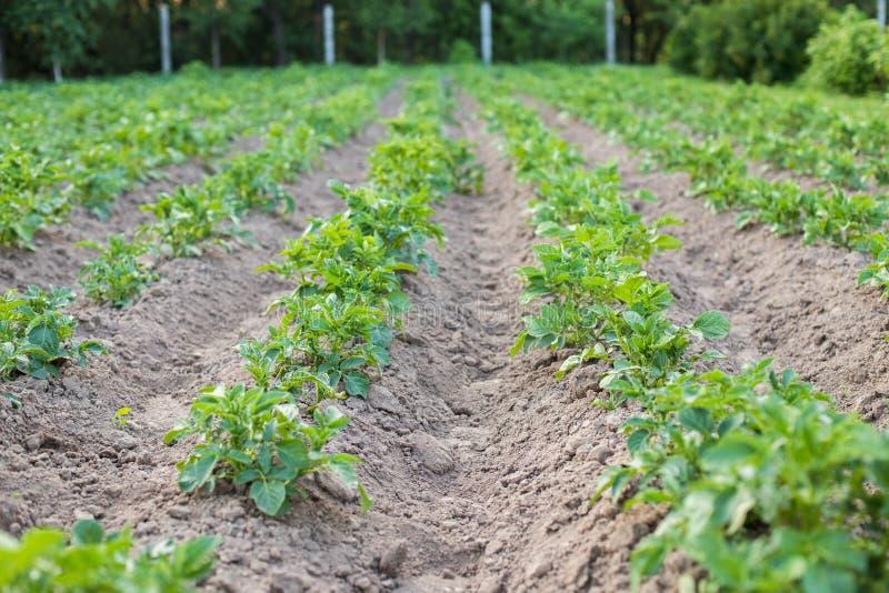 有生长在土豆领域的土豆叶子的绿色植物  库存照片