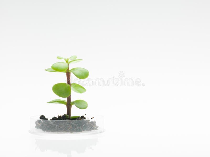 有生长在培养皿的土壤的植物 免版税图库摄影