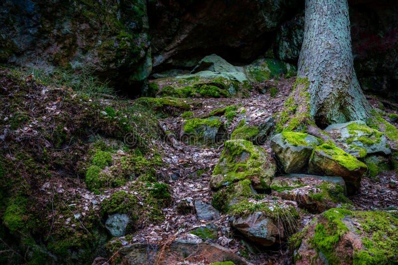 有用绿色青苔和石头的湿森林盖的岩石,杉树在背景中 库存图片