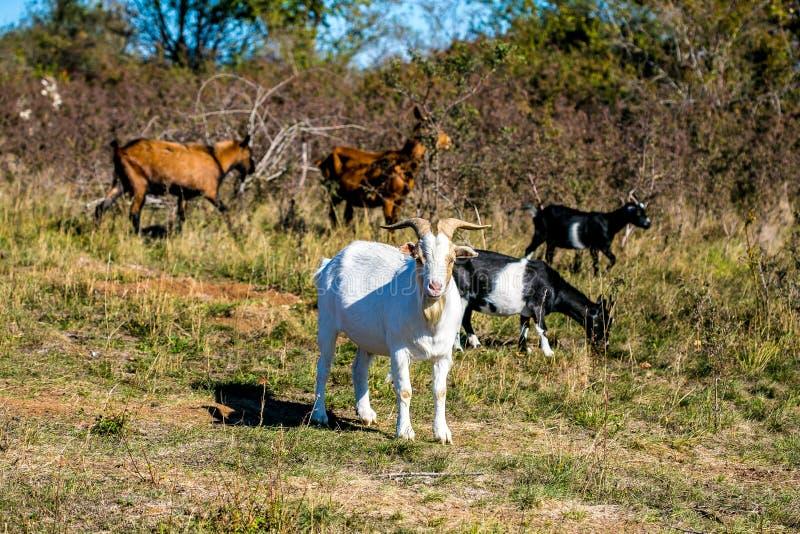 有白色公山羊,棕色和黑山羊的牧场地 免版税图库摄影