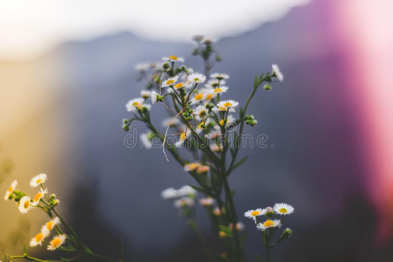 有白色和黄色色的花的一棵植物反对一座山在背景中 库存图片