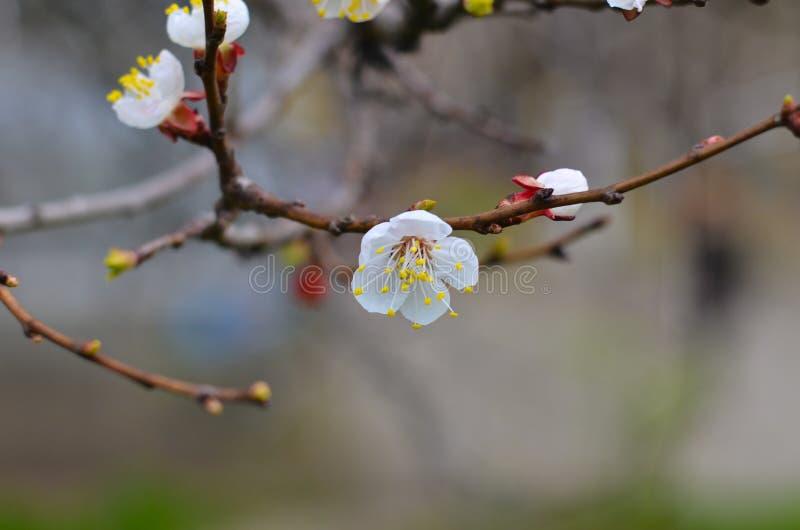 有白色开花的开花特写镜头的,春天樱桃枝杈 库存照片