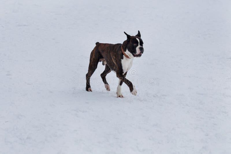 有白色标号的逗人喜爱的烟草花叶病的拳击手在白雪走 ?? 图库摄影