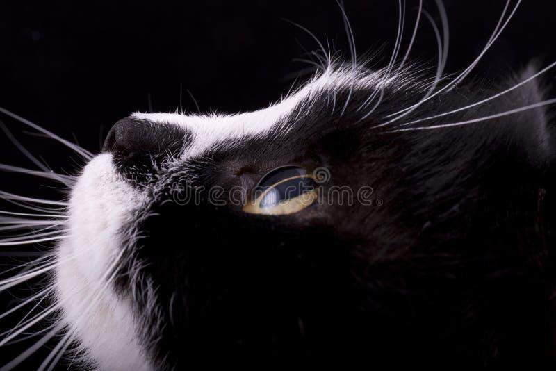 有白色颊须的猫枪口 免版税图库摄影