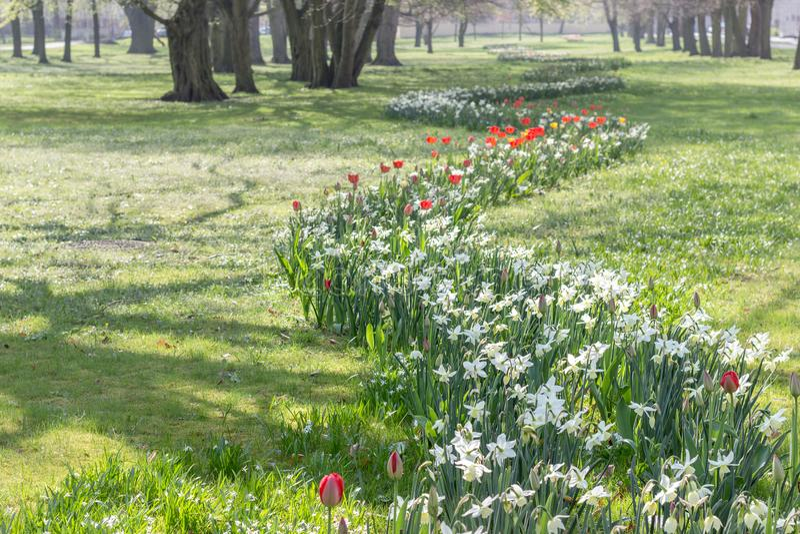 有白色黄水仙的花圃 库存照片