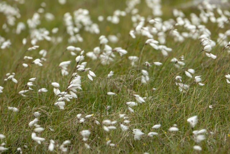 有白色cottongrass的充分的框架草甸 免版税库存图片
